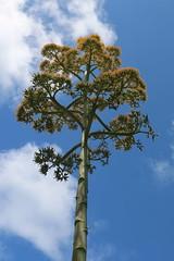 """Eleuthera: Century Plant (Ali Bentley) Tags: """"century plant"""" agave bloom flower eleuthera eleutheraisland thebahamas bahamas island caribbean centuryplant canon"""