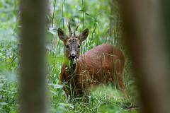 Roebuck (TuKJo) Tags: deer roe buck spring woods woodland mammal bluebells early morning wildlife photography nature lancashire trust animal canon sigma 150600 30 30dayswild