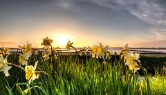 Sunbathing dreamy daffodils. (Alex-de-Haas) Tags: 1635mm d750 dutch dutchskies hdr holland hollandseluchten lowcountries nederland nikkor nikkor1635mm nikon nikond750 noordholland thenetherlands avond beautiful bloemen bloemenbijeenkomst bloemenveld bloemenvelden bright daffodil daffodils daglicht daylight depthoffield evening field flower flowerfields flowerbed fullframe highdynamicrange kleurrijk laagland landscape landscapephotography landschap landschapsfotografie lente licht light lucht luchten mooi narcis narcissen narcissus nature natuur outdoor overdag plant polder serene skies sky spring sun sundown sunny sunset zon zonnig zonsondergang
