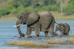 Afternoon paddle.... (Duncan Blackburn) Tags: 2013 botswana chobe elephant mammal nikon nature wildlife kasane ngc npc big5