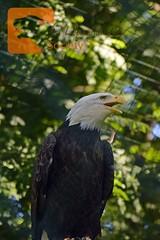 Weißkopfseeadler (LEGADEMA pictures) Tags: weiskopfseeadler bald eagle adler falke vogel raubvogel zoo berlin tierpark tamron usd sigma nikon d5300