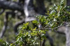 Chipping Sparrow (David Badke) Tags: oakbay bc bird