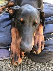 Do Not Disturb - Black and Tan Dobermann Pinscher Saxon (firehouse.ie) Tags: animal canine k9 dobeys dobey sleeping dogs dog dobies dobie dobes dobe pinschers pinscher dobermann doberman dobermanns dobermans saxon
