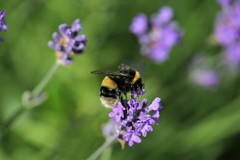 My first Bumble Bee - Explored (crafty1tutu (Ann)) Tags: travel holiday 2017 unitedkingdom uk animal insect bumblebee crafty1tutu canon180mm35lseriesmacrolens canon5dmkiii macro bee garden flower naturethroughthelens naturescarousel coth sunrays5