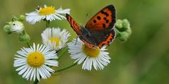 un attimo... (andrea.zanaboni) Tags: farfalla fiore butterfly flower colori colors nikon macro summer estate macrodreams ngc