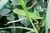 Lézardé au vert (Ye-Zu) Tags: tdm lézard bali nature tourdumonde lizard worldtour indonesia munduk indonésie