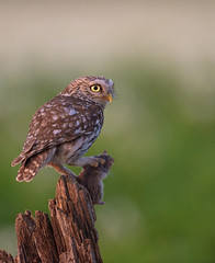 Little owl with a firm grip (skees499 ) Tags: hutfotografie hide birding netherlands holland nikon athenanoctua keesmolenaar steenuil mouse muis prey d750 nature wildlife birdofprey roofvogel uil littleowl animalplanet ngc flickr explore flickrsbest