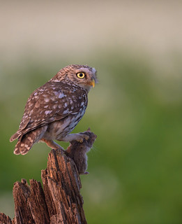 Little owl with a firm grip