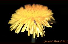 Dandelion / Taraxacum (ctofcsco) Tags: 16400 180mm 5d 5dclassic 5dmark1 5dmarki aperturepriorityae bee bug canon closeup colorado coloradosprings dandelion didnotfire digital ef180mmf35lmacrousm eos eos5d esplora bokeh explore geo:lat=3893083779 geo:lon=10489145279 geotagged gleneyrie nature northamerica telephoto wildlife explored f35 flashoff flower iso500 macro orange partial photo pic pretty renown taraxacum unitedstates usa yellow