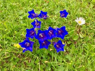 Enzian flowers in Bavaria, Germany