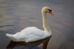 Swan (VladimirTro) Tags: россия санктпетербург russia saintpetersburg swan bird nature water outdoor canon 500d eos dslr photo photography