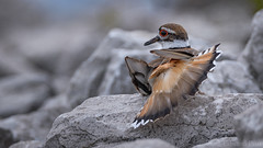 Killdeer Feigning Injury (ER Post) Tags: bird killdeercharadriusvociferus shorebird plover muskegon michigan unitedstates us