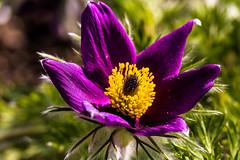 Anemone pulsatilla - Kuhschelle (Karabelso) Tags: blumenflowermakro blossom flower macro purple yellow garden anemone pulsatilla kuhschelle violett gelb makro blüte garten panasonic lumix gx7