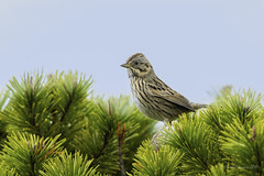 Pilgrimage to Tofino- Lincoln's Sparrow (Chantal Jacques Photography) Tags: pilgrimagetotofino lincolnssparrow wildandfree bokeh shorepinebogtrail