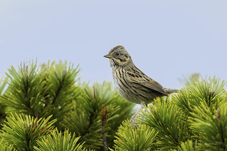 Pilgrimage to Tofino- Lincoln's Sparrow