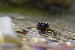 Feuersalamander (Aah-Yeah) Tags: feuersalamander firesalamander salamander salamandra caudata ovoviviparie larven bach weibchen achental chiemgau bayern