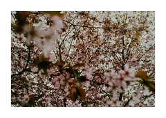 (idasalminen) Tags: cherryblossom flowers film filmphotography canoneos500n superiaxtra400