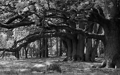 Where the Wild Things Are... (macrobernd) Tags: michaelfrede workshop heide baum tree wald forrest wood heath lüneburg sw monochrome monochrom bw