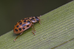 _IMG5917 Water ladybird (Pete.L .Hawkins Photography) Tags: water ladybird longhorn petehawkins petelhawkinsphotography petelhawkins petehawkinsphotography pentax 100mm macro pentaxpictures fantasticnature fabulousnature incrediblenature naturephoto wildlifephoto wildlifephotographer naturesfinest unusualcreature naturewatcher insect invertebrate bug 6legs compound eyes creepy crawly uglybug bugeyes fly wings eye veins flyingbug flying beetle shell elytra ground