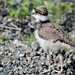 Juvenile Killdeer | May 2017