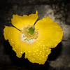 Californian Poppy and raindrops. (DP the snapper) Tags: poohhallclun raindrops californianpoppy