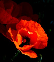 coquelicot se poussant du col (b.four) Tags: coquelicot papavero poppy cagnessurmer alpesmaritimes ruby5 ruby10 ruby15