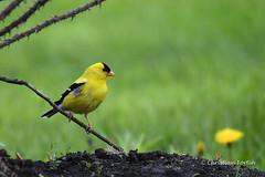 Chardonneret (fortinchristian) Tags: domainemaizerets oiseaux chardonneret