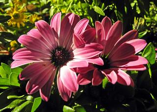 9777 Kapkörbchen. Cape daisy.