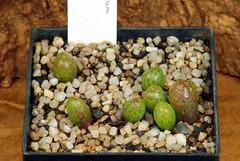 5 juin 2017 - Diplosoma retroversum, 181 jours (Mafate79) Tags: 2017 s16058 diplosomaretroversum aizoaceae aizoacées aizoacée mesemb mesembryanthemaceae mesembryanthemacées mesembryanthemacée plante semis