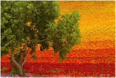 Unspoiled by meaning (MaheshChopde) Tags: tree colors colours daylight red outdoors goa vibrance joy carpet artists colorful