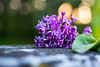 Week 18 - Artistic: Purple - Lilac #dogwood2017week18 (MrFox9) Tags: dogwood52 dogwood2017 dogwood52week18 dogwood2017week18 flektogon flektogon35f24 carlzeissjena ausjena lilac flowers m42