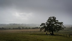 Biddadabba (dustaway) Tags: landscape weather australianlandscape australianweather winter biddadabba albertvalley sequeensland queensland australia horses tree paddocks rain overcast shelter moretonbayfigtree wetday rainyday