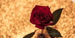 De grana y oro. (M.L.C.*) Tags: color flores flor rosa ramo bokeh bokhes luz hojas interior