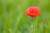 Beauty is a fragile gift (Karsten Gieselmann) Tags: 40150mmf28 blumen blüten bokeh dof em5markii farbe grün mzuiko microfourthirds mohn natur olympus pflanzen rot schärfentiefe blossom color flower green kgiesel m43 mft nature red mohnblume poppy poppies