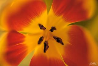 Deep in Tulip