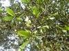 Dryocosmus kuriphilus OCGW - Oriental Chestnut Gall Wasp