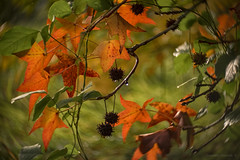 autumn winds (gnarlydog) Tags: adaptedlens kodakcine50mmf16 vintagelenseffect bokeh swirly surreal colorful autumn leaves maple orange australia backlit transparent glow selectivefocus shallowdepthoffield nature tree seeds