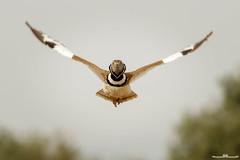 Sisón común (www.jorgelazaro.es) Tags: tetraxtetrax autóctonas pluma littlebustard sisóncomún pájaro animal otididae pájaros pico plumas naturaleza sisón fauna basoilotxikia sisó aves