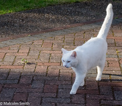 The White Cat (M C Smith) Tags: white cat pentax k3 block paving grass path weed