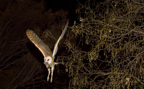 Western Barn Owl , flying to nestlings with rodent prey, _3005
