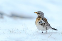 The stout 'snow magpie' (pakerholm) Tags: björktrast snöskata fieldfare turduspilaris sigma150600 sigma150600f563dgsports sigma150600mmf563 sigmasport sigma 150600 600 nikon d600 d610 nikond600 nikond610 fullframe fullformat fågelskådning ornitologi ornithology birdwatching birds bird fågel fåglar linnut lintu wildlife animals vildadjur oxelösund sweden sverige