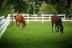 Wild Wild Horses (olsonk1015) Tags: zoo detroitzoo animals eating trees whitefence grass horses