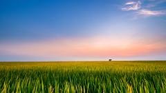 The vast field (=Heo Ngốc=) Tags: outside nature plant nam local malaysia regulation rice travel valley viet vietnam sapa leaf county earth asia asian farm land landscape horticulture grows field food green ground agriculture