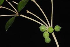 Alyxia ruscifolia (andreas lambrianides) Tags: alyxiaruscifolia apocynaceae alyxiaruscifoliarbrvarruscifolia alyxiaruscifoliarbrsubspruscifolia alyxiaruscifoliavarpugioniformis alyxiapugioiformis alyxiaruscifoliavarulicina nativeholly moonya chainfruit pricklyalyxia australianflora australiannativeplant australianrainforests australianrainforestplant cyrfp nswrfp qrfp arffs tropicalarf subtropicalarf littoralarf australianrainforestfruitsandseeds australianrainforestseeds australianrainforestfruits greenarffs
