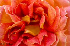 Chédigny Festival des roses 04 (letexierpatrick) Tags: chédigny rose orange flowers fleurs fleur flower floraison france touraine nature jardin coeurdefleurs colors couleurs couleur botanique nikon nikond7000 garden