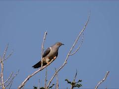 Cuckoo's  (Cuculus canorus) Lough Dan, Wicklow 26-5-17 (Brian Carruthers-Dublin-Eire) Tags: wicklow cuculus canorus cuculuscanorus cuckoo loughdan