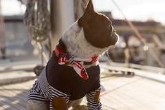 DSC06518 (Anastasia Neto) Tags: dog dogphotography dogmodel dogs dogphotographer cutepuppies cutepuppy frenchbulldog frenchies frenchie funnydog frenchbulldogs funnydogs petmodel puppies puppy petphotography petphotographer pet