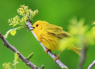 yellow warbler male at Decorah Trout Hatchery IA 854A7095