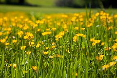 Buttercup Meadow Surrey (Adam Swaine) Tags: buttercups fields wildflowers flowers flora surreyhills surrey abingerhammer england englishlandscapes spring colours yellow canon beautiful naturelovers nature swaine rural