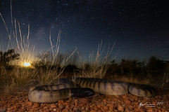Black-headed Python in habitat (R. Francis) Tags: aspiditesmelanocephalus blackheadedpython mountisa northwestqueensland ryanfrancis ryanfrancisphotography qld queensland inhabitat stars milkyway astrophotography moon